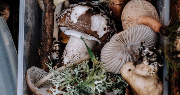Could a Shiitake Mushroom-derived Supplement Help Your Body
